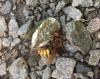 hornet2.png