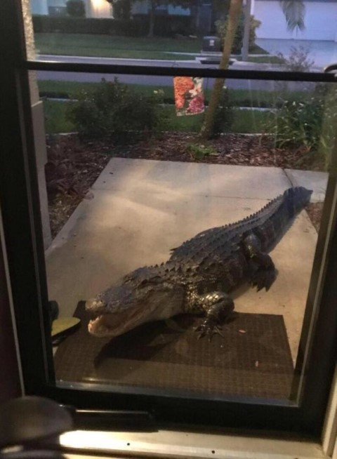 Alligator-at-the-door-650x886 (Small).jpg