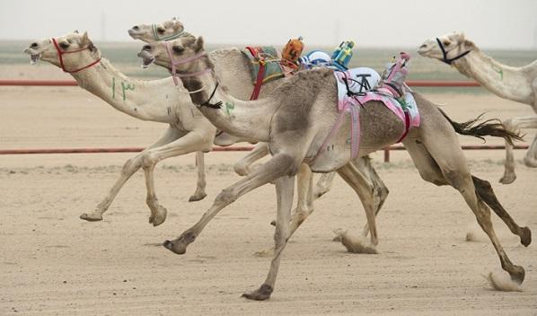 camels1-2.jpg